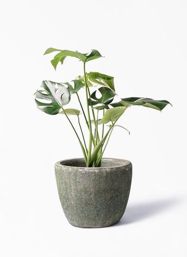 観葉植物 モンステラ 6号 ボサ造り アビスソニア ミドル 緑 付き