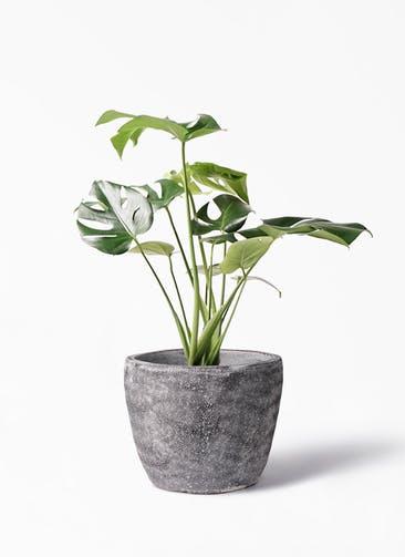 観葉植物 モンステラ 6号 ボサ造り アビスソニア ミドル 灰 付き