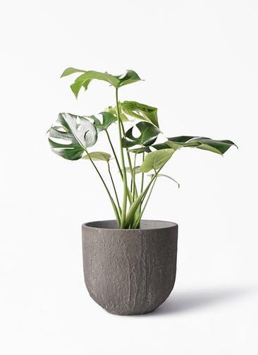 観葉植物 モンステラ 6号 ボサ造り バル ユーポット アンティークセメント 付き