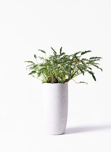 観葉植物 クッカバラ 6号  Eco Stone(エコストーン) トールタイプ white 付き