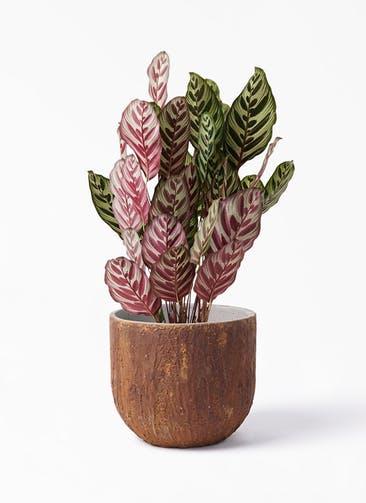 観葉植物 カラテア マコヤナ 6号 バル ユーポット ラスティ  付き