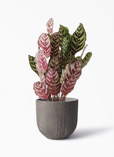 観葉植物 カラテア マコヤナ 6号 バル ユーポット アンティークセメント 付き