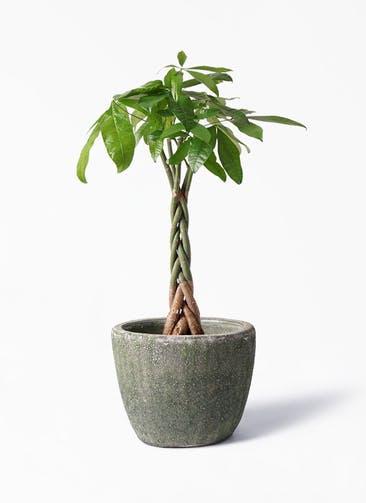 観葉植物 パキラ 6号 ねじり アビスソニア ミドル 緑 付き