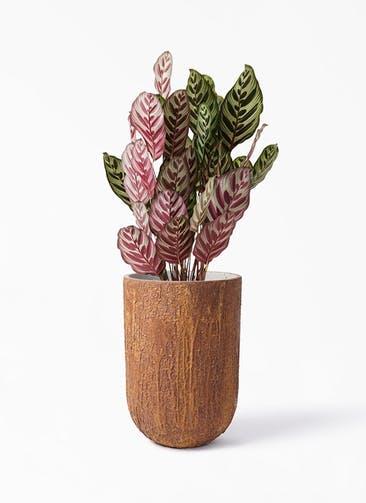 観葉植物 カラテア マコヤナ 6号 バル トール ラスティ  付き