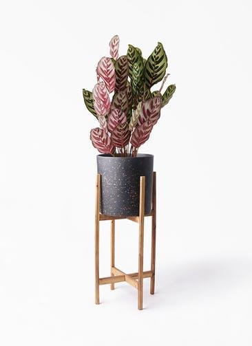 観葉植物 カラテア マコヤナ 6号 ホルスト シリンダー スパークルブラック ウッドポットスタンド 付き