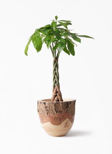 観葉植物 パキラ 6号 ねじり Mango Wood(マンゴーウッド) フラワーベース 付き