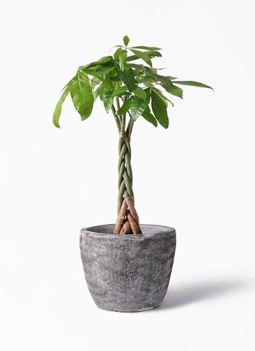 観葉植物 パキラ 6号 ねじり アビスソニア ミドル 灰 付き
