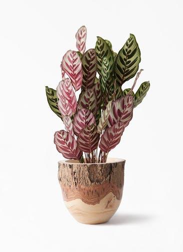 観葉植物 カラテア マコヤナ 6号 Mango Wood(マンゴーウッド) フラワーベース 付き