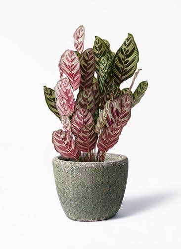 観葉植物 カラテア マコヤナ 6号 アビスソニア ミドル 緑 付き