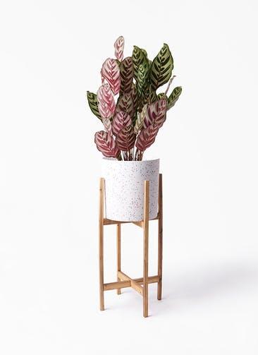 観葉植物 カラテア マコヤナ 6号 ホルスト シリンダー スパークルホワイト ウッドポットスタンド 付き