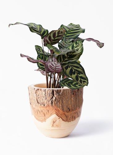 観葉植物 カラテア マコヤナ 4号 Mango Wood(マンゴーウッド) フラワーベース 付き