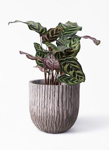 観葉植物 カラテア マコヤナ 4号 Cement Pot (セメントポット) 付き