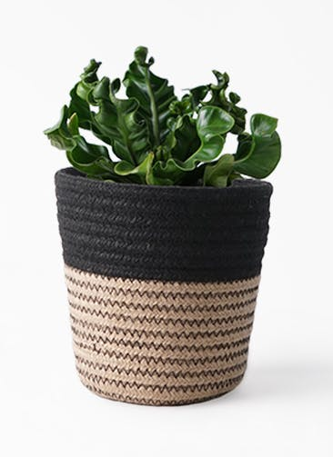 観葉植物 アスプレニウム 4号 Rib Basket (リブバスケット)  Natural and Black 付き