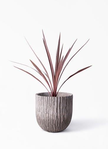 観葉植物 コルディリネ (コルジリネ) レッドスター 4号 Cement Pot (セメントポット) 付き