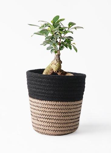 観葉植物 ガジュマル 4号 股仕立て Rib Basket (リブバスケット)  Natural and Black 付き