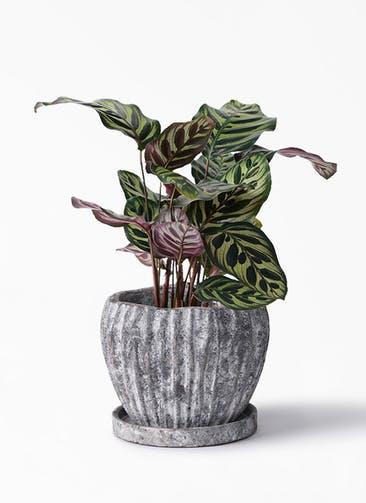 観葉植物 カラテア マコヤナ 4号 ムーンリーフS 付き