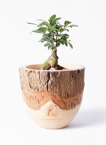 観葉植物 ガジュマル 4号 股仕立て Mango Wood(マンゴーウッド) フラワーベース 付き