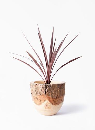 観葉植物 コルディリネ (コルジリネ) レッドスター 4号 Mango Wood(マンゴーウッド) フラワーベース 付き