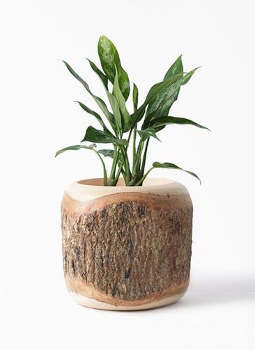 観葉植物 アグラオネマ 4号 Mango Wood(マンゴーウッド) 付き