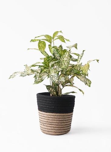 観葉植物 ドラセナ ゴッドセフィアーナ 4号 Rib Basket (リブバスケット)  Natural and Black 付き