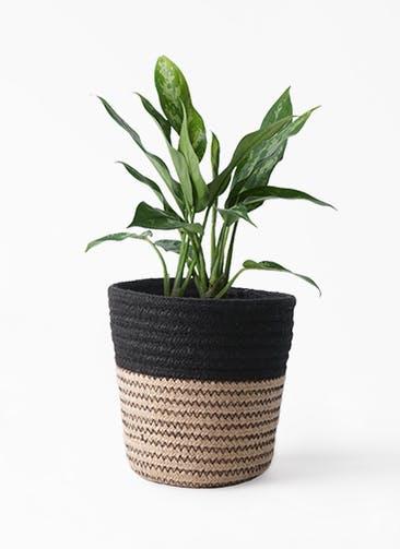 観葉植物 アグラオネマ 4号 Rib Basket (リブバスケット)  Natural and Black 付き
