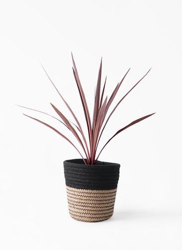 観葉植物 コルディリネ (コルジリネ) レッドスター 4号 Rib Basket (リブバスケット)  Natural and Black 付き