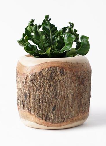 観葉植物 アスプレニウム 4号 Mango Wood(マンゴーウッド) 付き