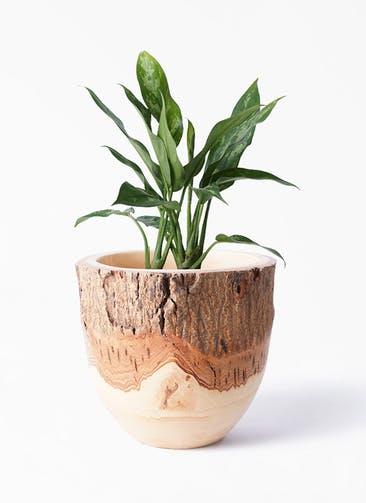 観葉植物 アグラオネマ 4号 Mango Wood(マンゴーウッド) フラワーベース 付き