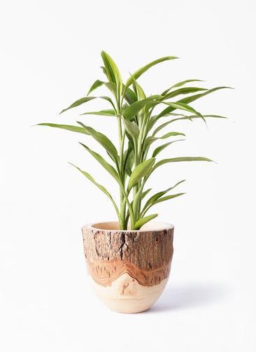 観葉植物 ドラセナ サンデリアーナ ゴールド 4号 Mango Wood(マンゴーウッド) フラワーベース 付き