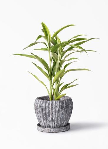 観葉植物 ドラセナ サンデリアーナ ゴールド 4号 ムーンリーフS 付き