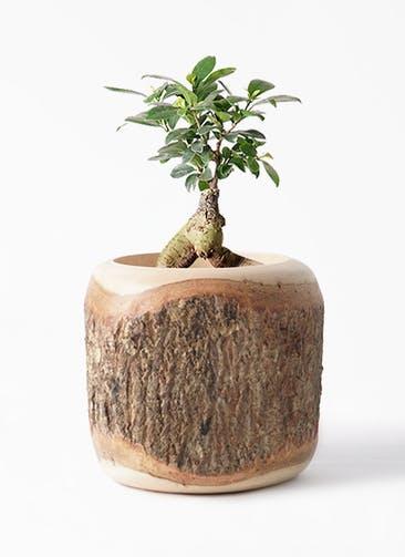 観葉植物 ガジュマル 4号 股仕立て Mango Wood(マンゴーウッド) 付き