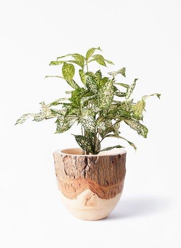 観葉植物 ドラセナ ゴッドセフィアーナ 4号 Mango Wood(マンゴーウッド) フラワーベース 付き