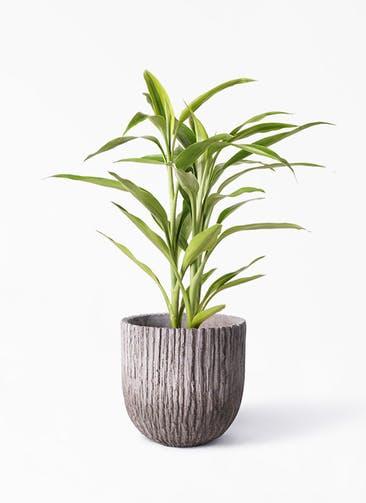 観葉植物 ドラセナ サンデリアーナ ゴールド 4号 Cement Pot (セメントポット) 付き