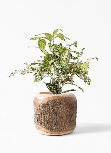 観葉植物 ドラセナ ゴッドセフィアーナ 4号 Mango Wood(マンゴーウッド) 付き