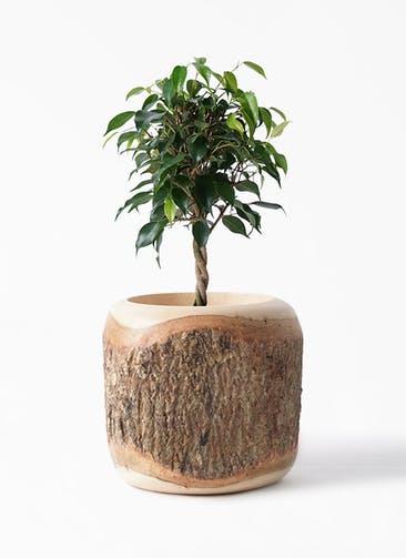 観葉植物 フィカス ベンジャミン 4号 玉造り Mango Wood(マンゴーウッド) 付き