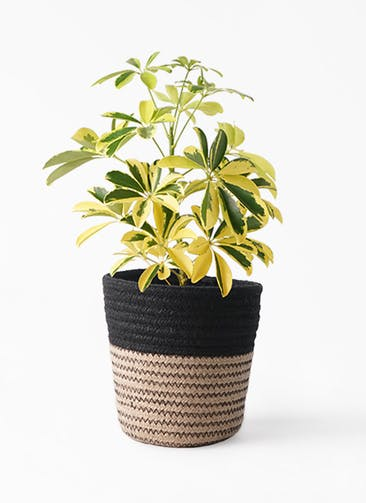 観葉植物 カポック(シェフレラ) 4号 斑入り Rib Basket (リブバスケット)  Natural and Black 付き