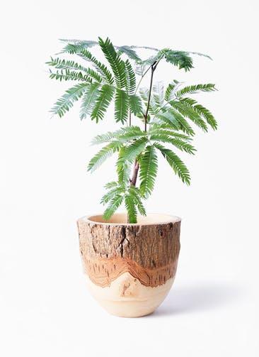 観葉植物 エバーフレッシュ 4号 ボサ造り Mango Wood(マンゴーウッド) フラワーベース 付き