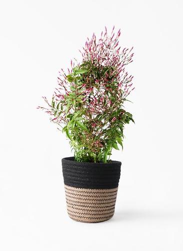 観葉植物 ハゴロモジャスミン 4号 Rib Basket (リブバスケット)  Natural and Black 付き