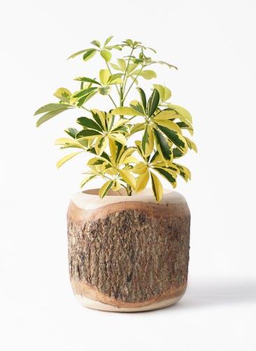 観葉植物 カポック(シェフレラ) 4号 斑入り Mango Wood(マンゴーウッド) 付き