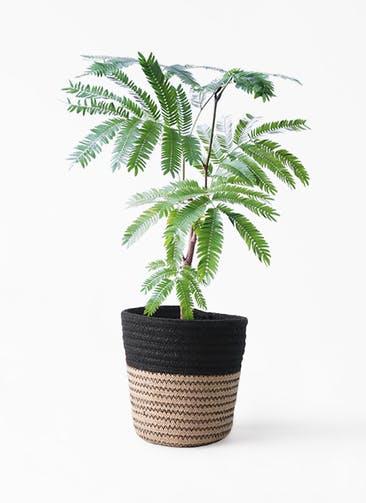 観葉植物 エバーフレッシュ 4号 ボサ造り Rib Basket (リブバスケット)  Natural and Black 付き