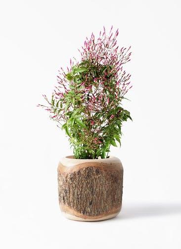 観葉植物 ハゴロモジャスミン 4号 Mango Wood(マンゴーウッド) 付き
