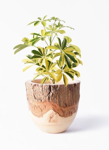 観葉植物 カポック(シェフレラ) 4号 斑入り Mango Wood(マンゴーウッド) フラワーベース 付き