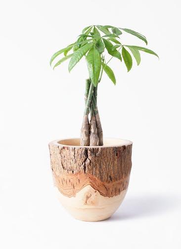 観葉植物 パキラ 4号 ねじり Mango Wood(マンゴーウッド) フラワーベース 付き