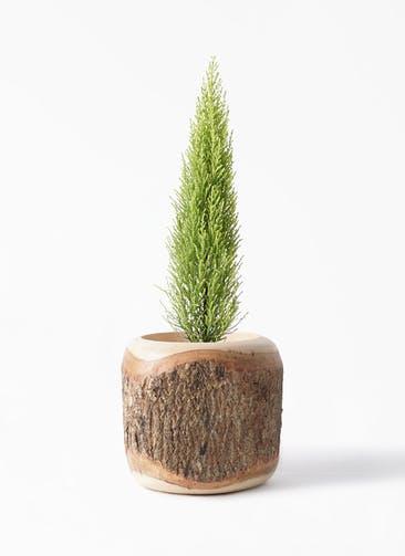 観葉植物 ゴールドクレスト 4号 ノーマル Mango Wood(マンゴーウッド) 付き
