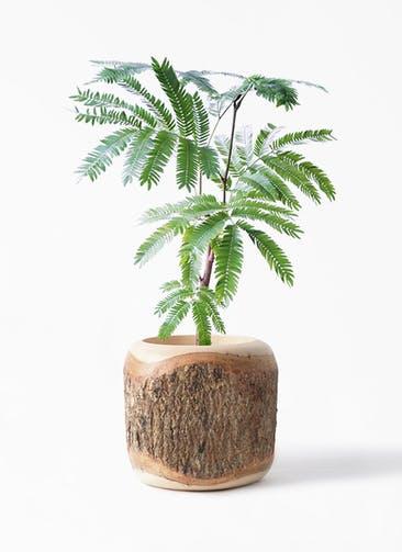 観葉植物 エバーフレッシュ 4号 ボサ造り Mango Wood(マンゴーウッド) 付き