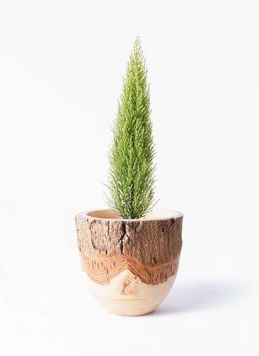 観葉植物 ゴールドクレスト 4号 ノーマル Mango Wood(マンゴーウッド) フラワーベース 付き