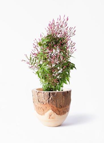 観葉植物 ハゴロモジャスミン 4号 Mango Wood(マンゴーウッド) フラワーベース 付き