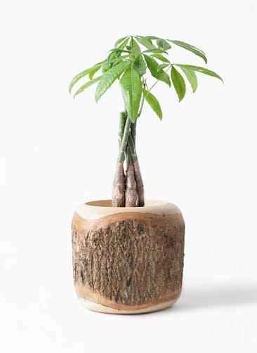 観葉植物 パキラ 4号 ねじり Mango Wood(マンゴーウッド) 付き