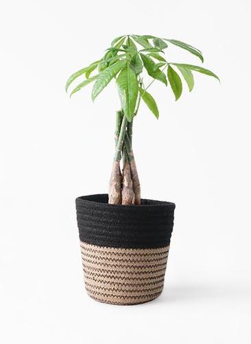 観葉植物 パキラ 4号 ねじり Rib Basket (リブバスケット)  Natural and Black 付き