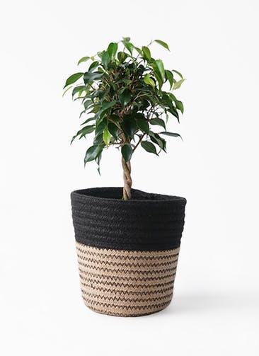 観葉植物 フィカス ベンジャミン 4号 玉造り Rib Basket (リブバスケット)  Natural and Black 付き
